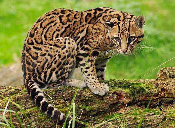 Тойгер: фото кошки, цена котенка, описание внешнего вида и характера