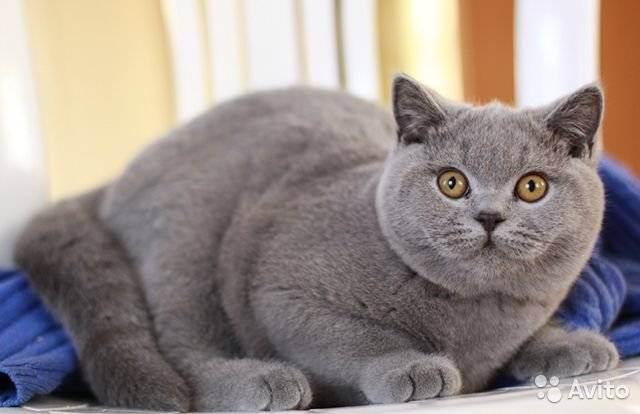 Как ухаживать за британским котенком и взрослым котом?