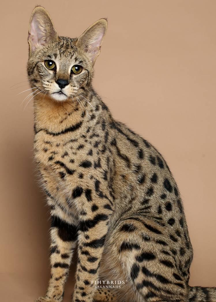 Порода кошек с коротким хвостом: название и описание