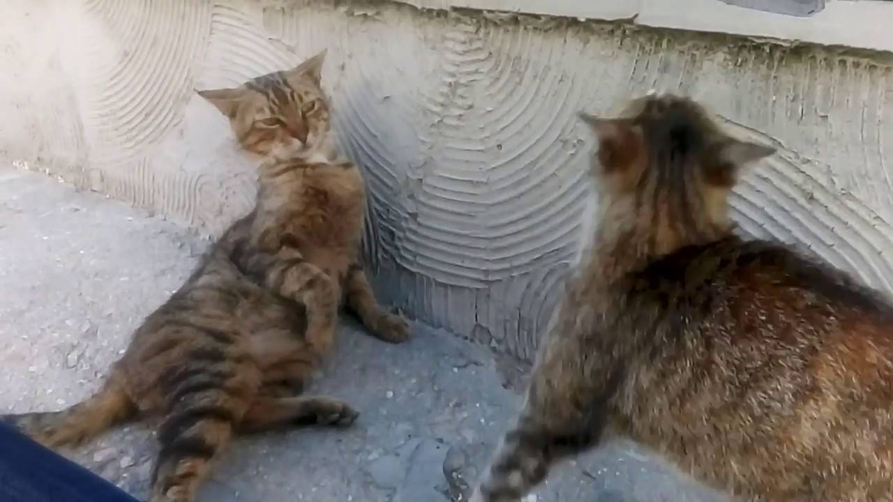Почему кошка не подпускает кота во время течки и что делать | my darling cats