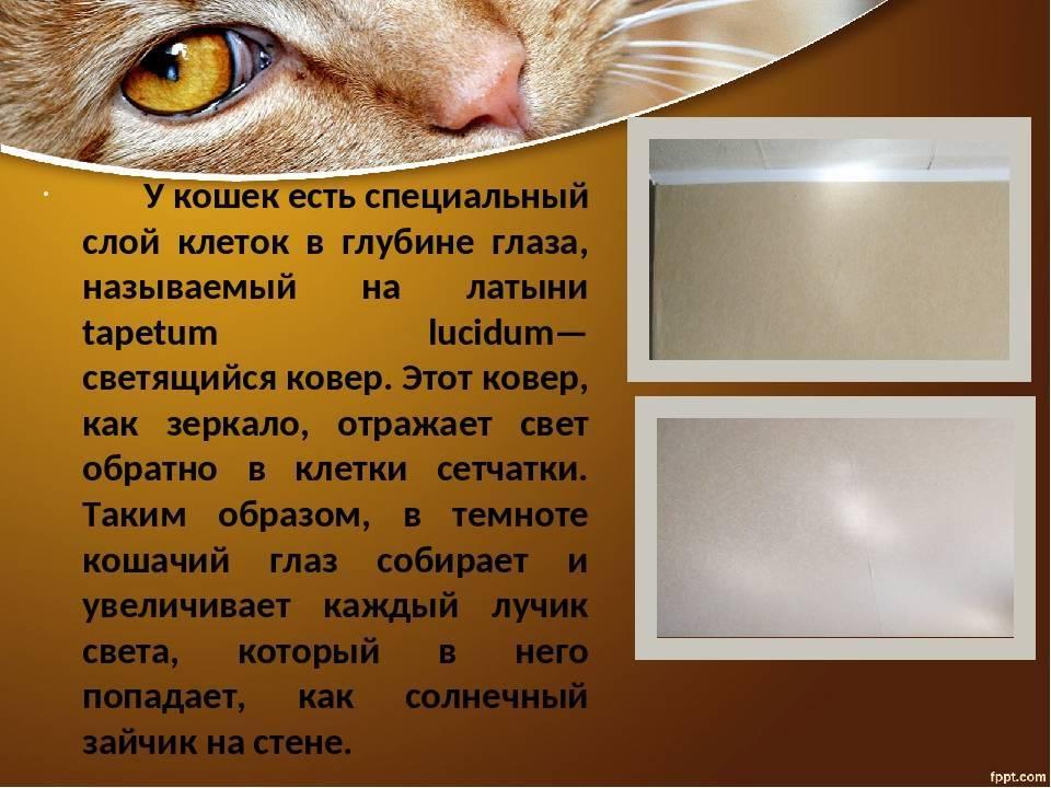 Почему у кошек в темноте светятся глаза, причины