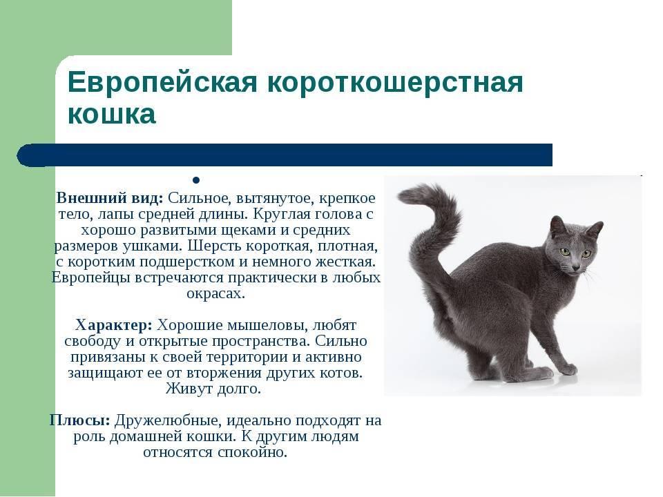 Британская короткошерстная кошка:основные сведения, особенности и недостатки породы, фото