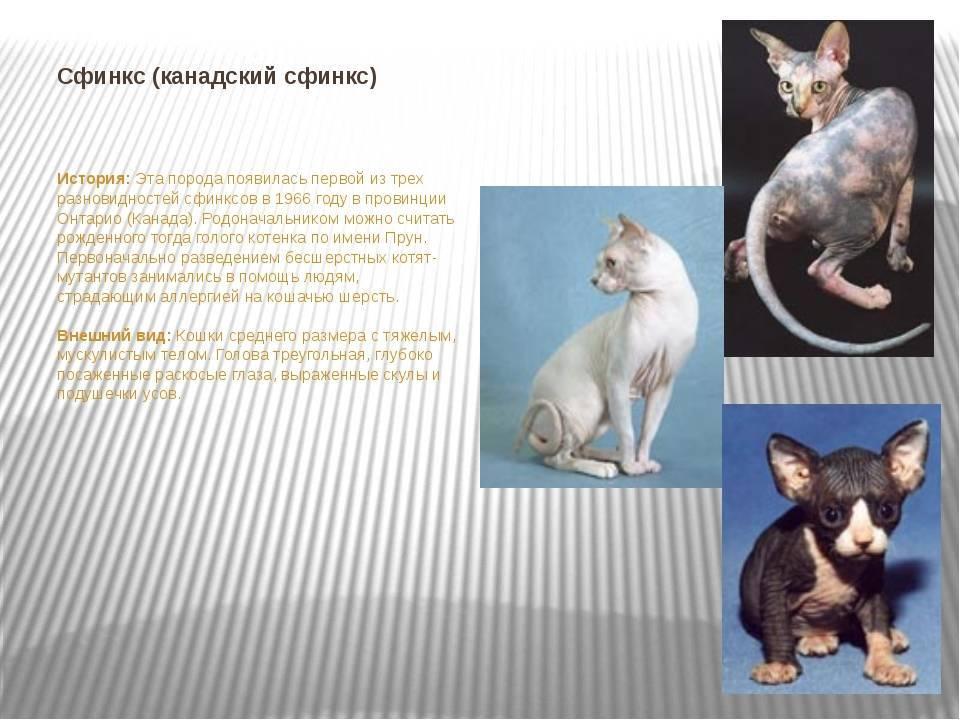 Порода кошек петерболд, фото котов и котят, описание разновидностей сфинксов браш и прямошерстная вариетта