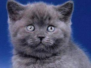 Когда у британского котенка меняются зубы у