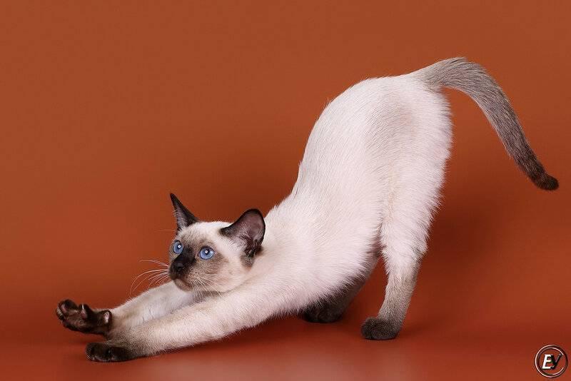 Сиамские кошки – описание породы и характера