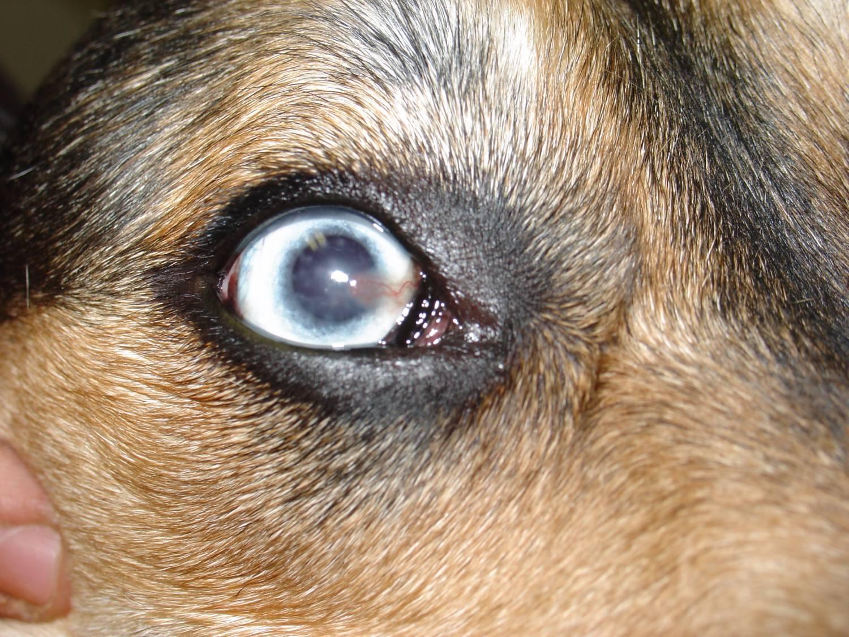Дирофиляриоз у собак— диагностика и лечение
