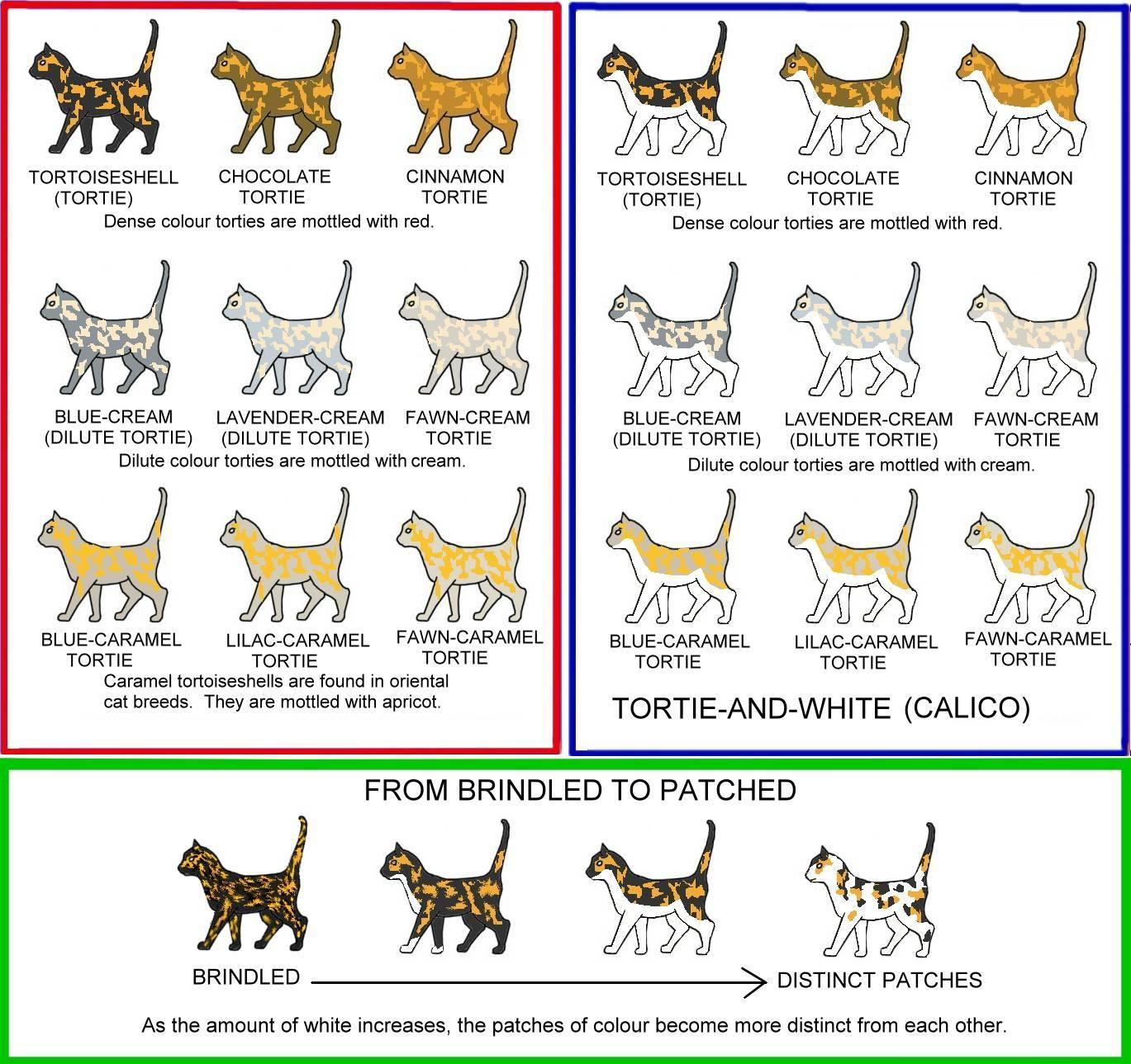 Окрасы шотландских кошек: виды и расцветки с фото и видео