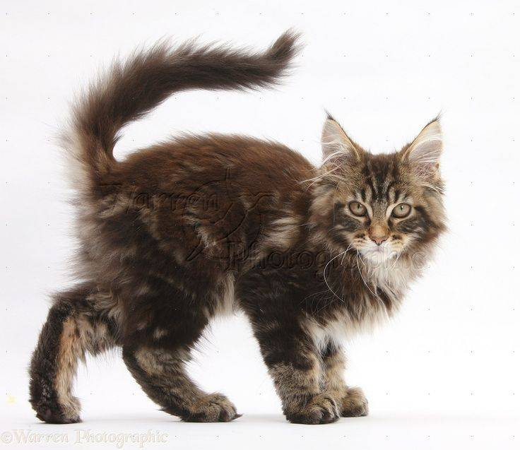 Мейн кун кошки уход и содержание