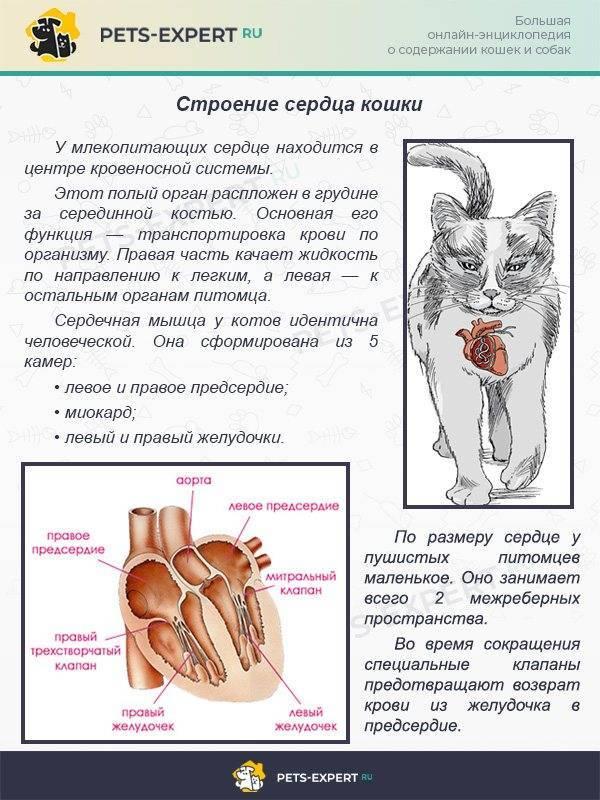 Кардиомиопатия у кошек лечение и прогноз на выздоровление