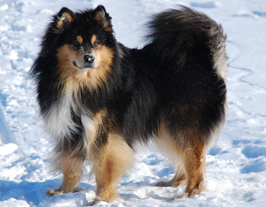 Карело-финская лайка – фото, описание, стандарт породы, цена щенков