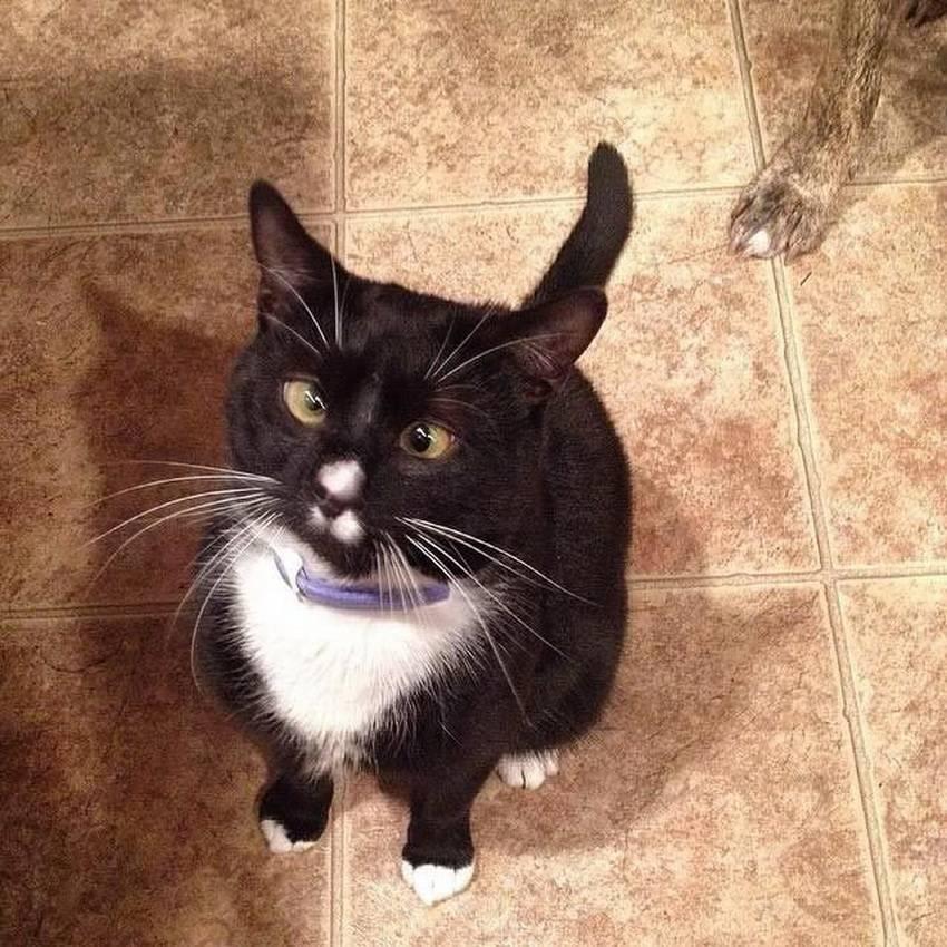 Косоглазие у кошек: причины болезни сиамских, тайских и других пород