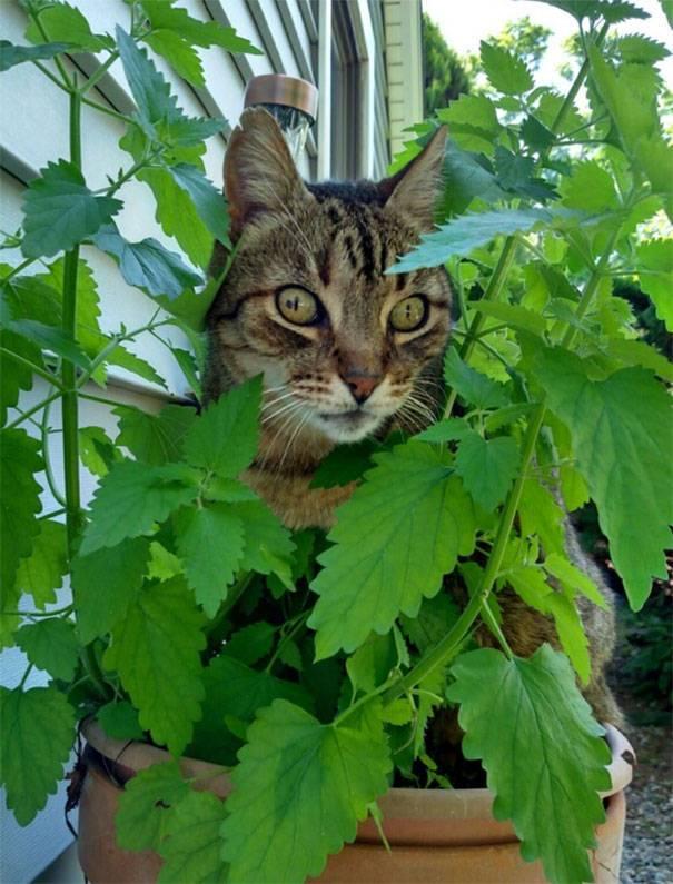 Что такое кошачья мята и для чего она нужна — разбираемся в общих чертах