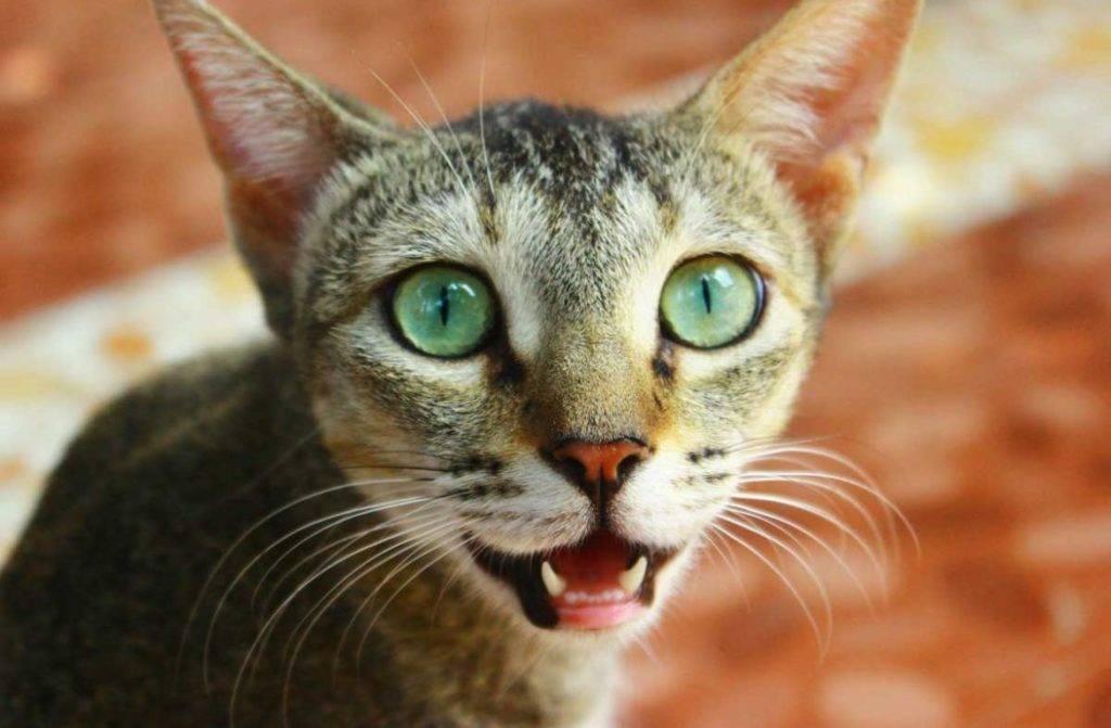 Кошка дышит с открытым ртом после родов: причины