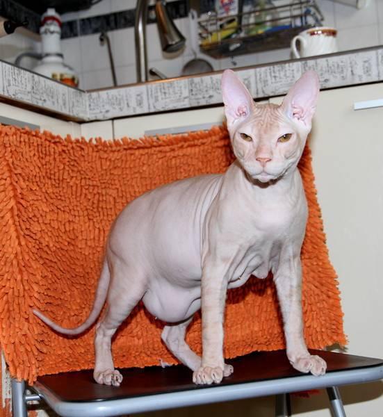 У кошки твёрдый и большой живот: что делать?