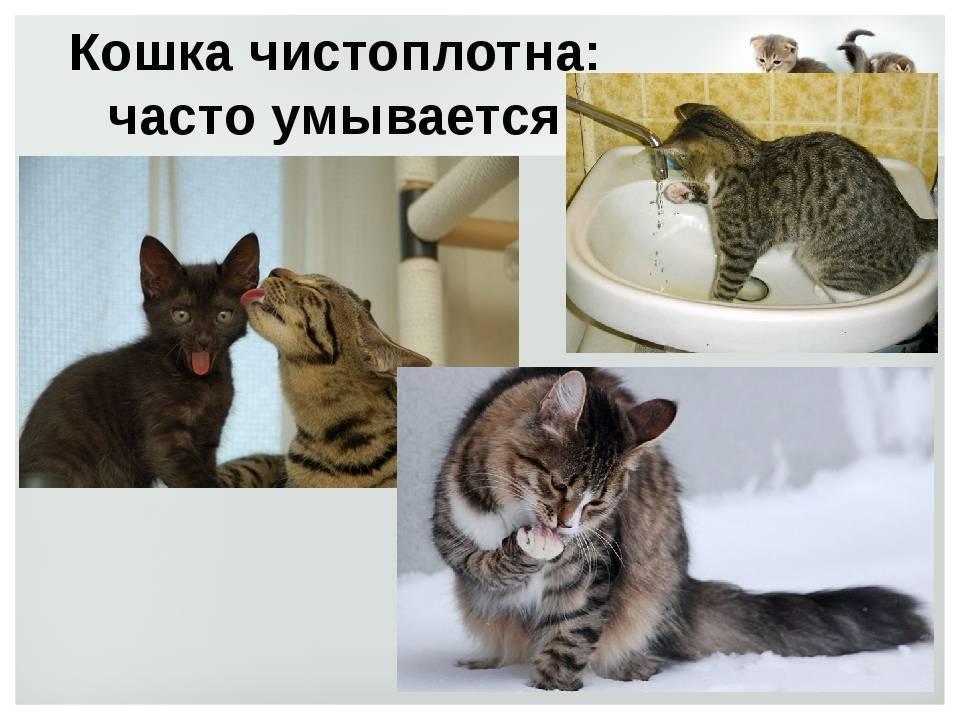 Почему кошки умываются