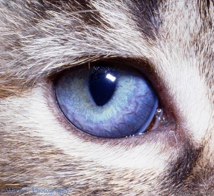 Строение глаза кошки - zhivomag