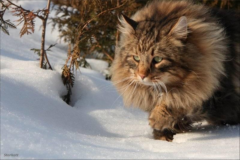 Норвежская лесная кошка. описание, особенности, уход и цена норвежской лесной кошки | животный мир