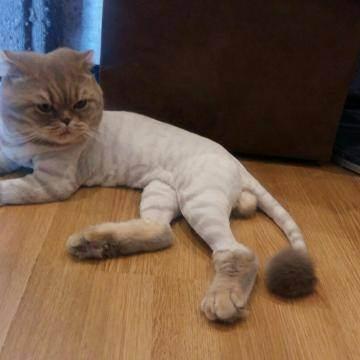 Британская короткошерстная кошка: особенности породы