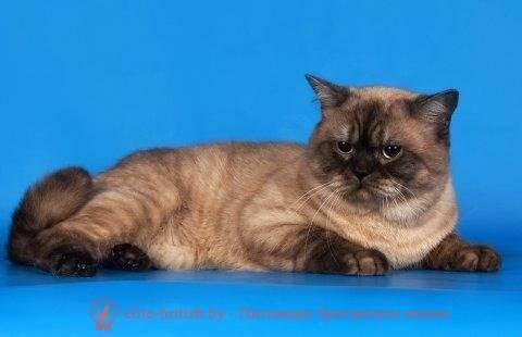Кремовый британец: окрас, генетика и характер редких английских кошек