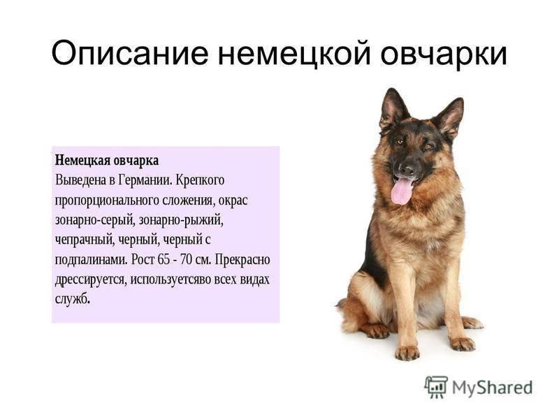 Немецкая овчарка: фото и картинки питомцев, а также как выглядит китайская, рабочего разведения и старопитная собака