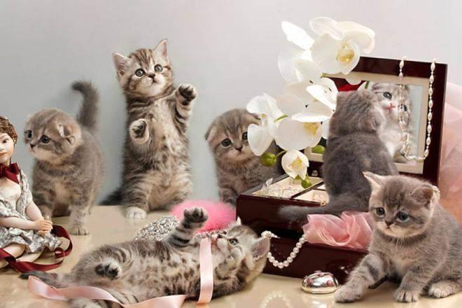 Кастрация и стерилизация шотландских котов и кошек: с какого возраста можно кастрировать шотландца? когда лучше стерилизовать кошку?