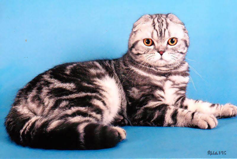 Cкоттиш фолд: окрасы шотландской вислоухой кошки с фото (черный, голубой)