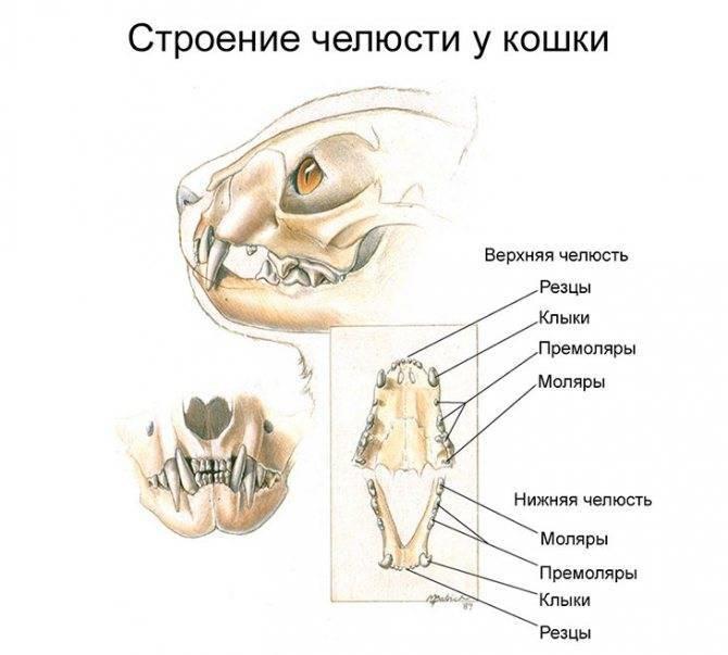 Когда меняются зубы у котят и как это происходит?