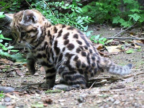 Андская кошка— скрытная хищница южноамериканских широт