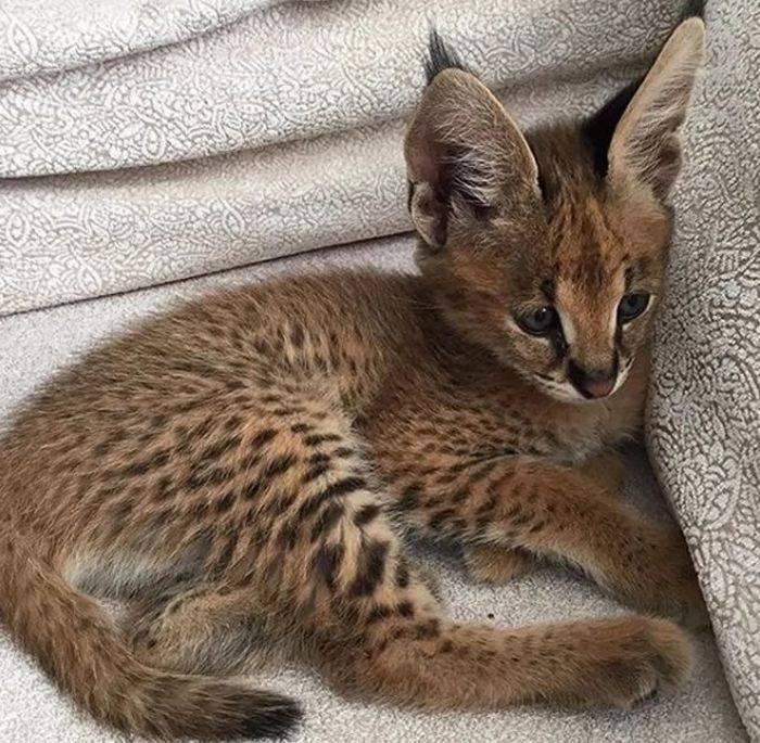 Рысь: 125 фото рысей, описание охоты, характера и особенностей кошки