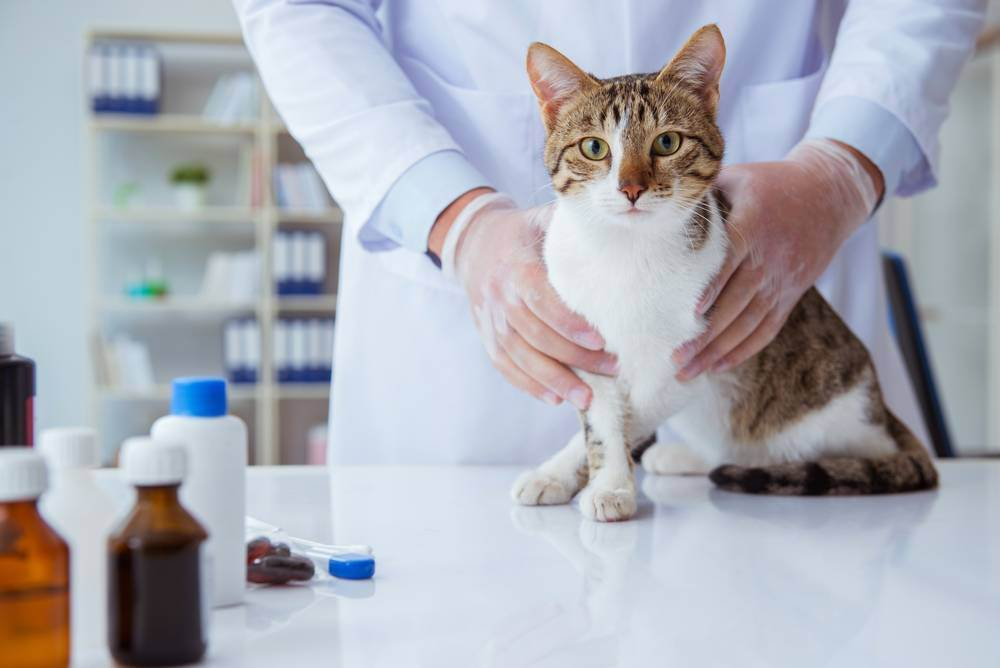 Колики у кошки: кишечные, печеночные, почечные, желудочные