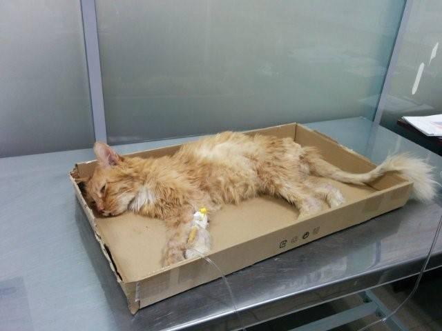 Лимфома у кошек и котов: лечение, симптомы, прогноз