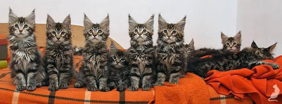 Мейн-кун (46 фото): описание породы больших котов, характеристика взрослых кошек и котят, плюсы и минусы домашних котиков, отзывы владельцев