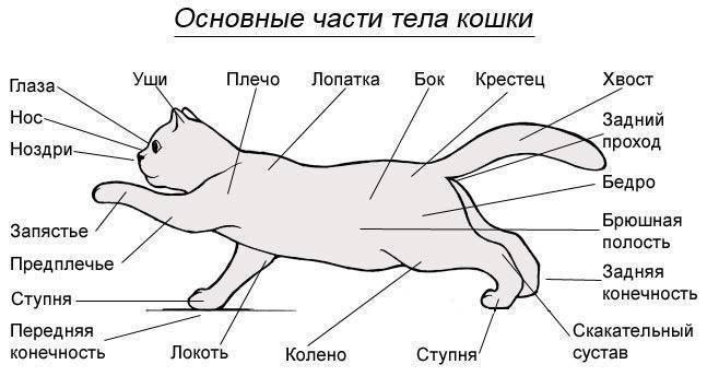 Когти у котов – особенности строения и ухода