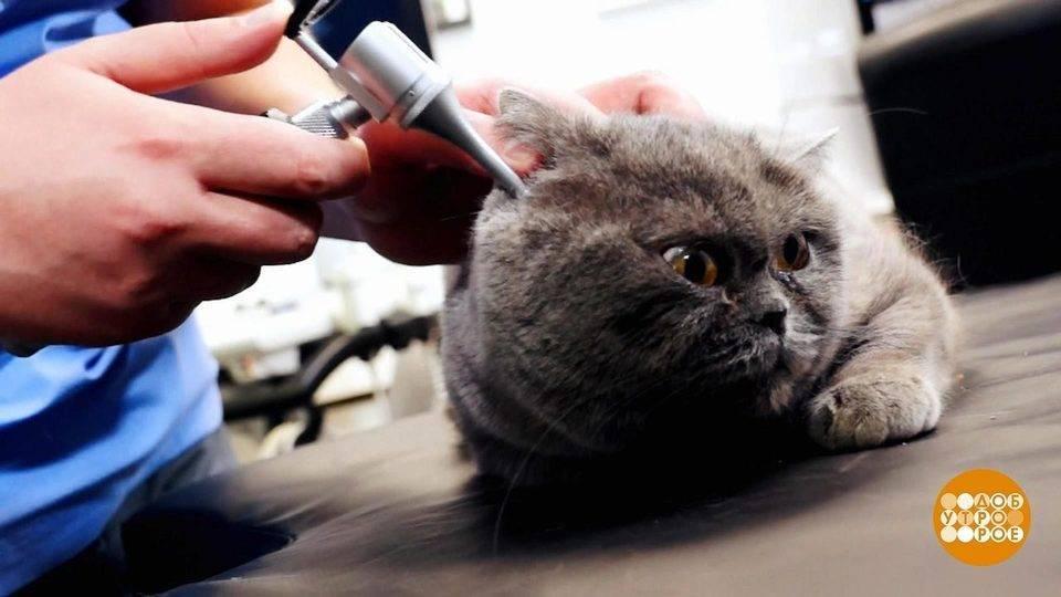 Как почистить коту уши в домашних условиях правильно, как быть, если питомец не дает это сделать?