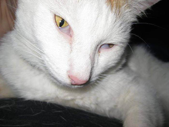 Третье веко у кошек: способы удаления, восстановление после операции | хирургия как удаляют третье веко у кошек? | хирургия