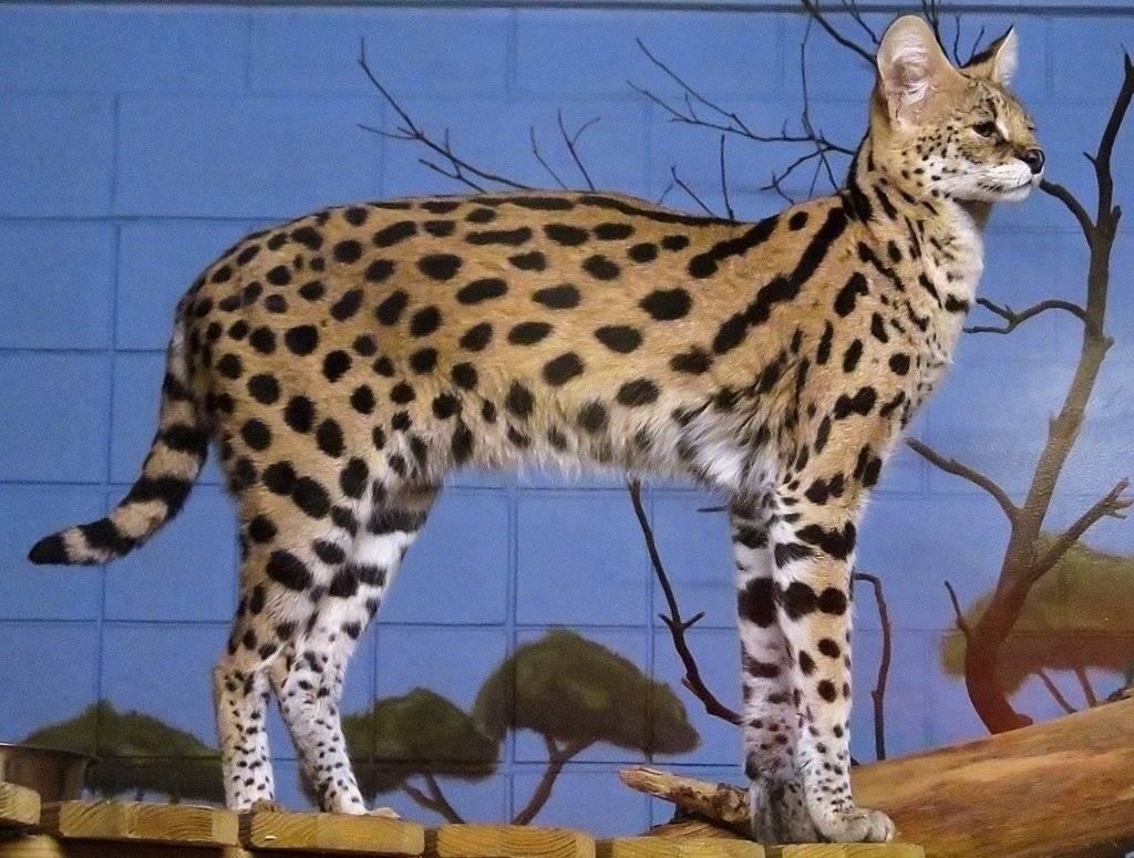 Пятнистые кошки: породы с названиями и фотографиями | окрас с пятнами
