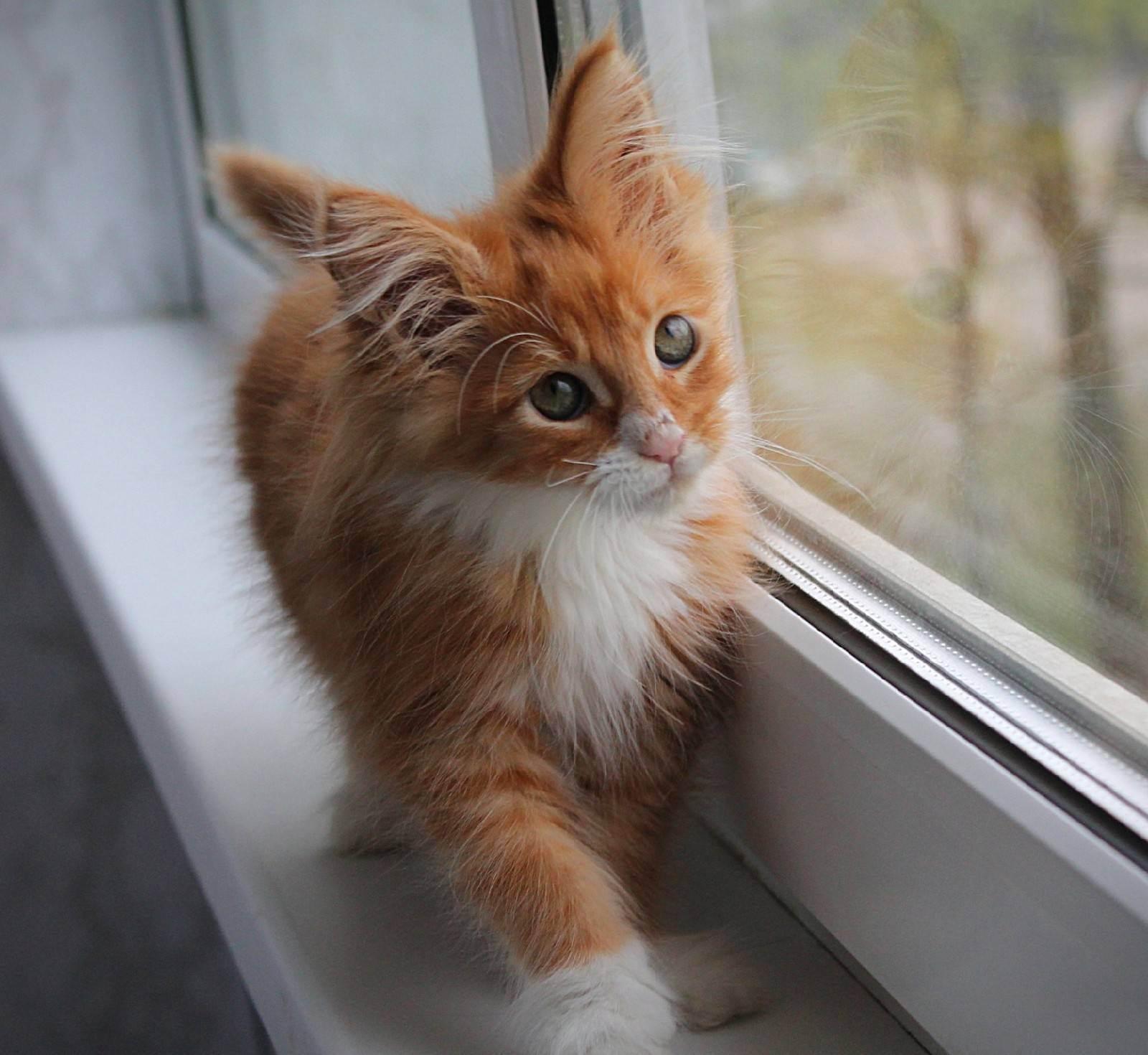 Бесплатный породистый котёнок.
