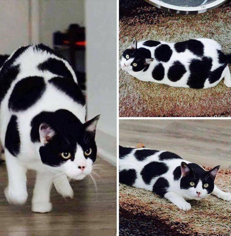 Породы черных кошек (38 фото): описание пушистых и гладкошерстных породистых котов с голубыми, желтыми и зелеными глазами