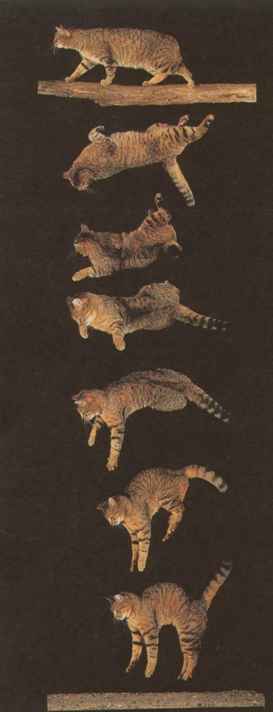 Почему кошки приземляются на 4 лапы: научное объяснение, другие удивительные способности