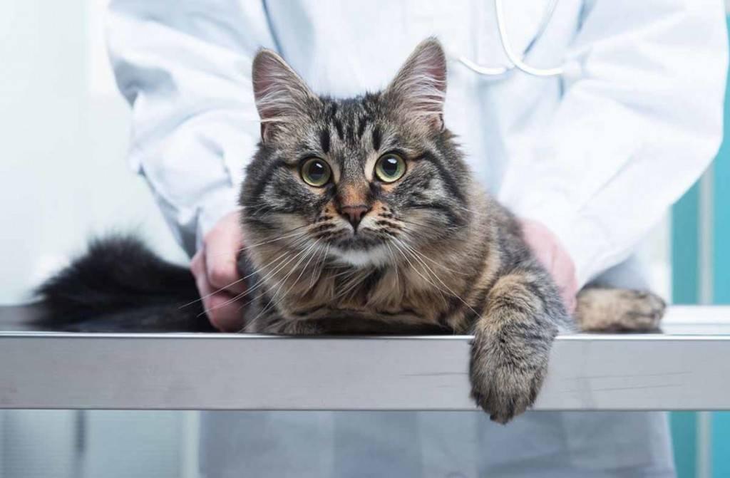 Кошка все время просит есть, почему кот загребает еду?