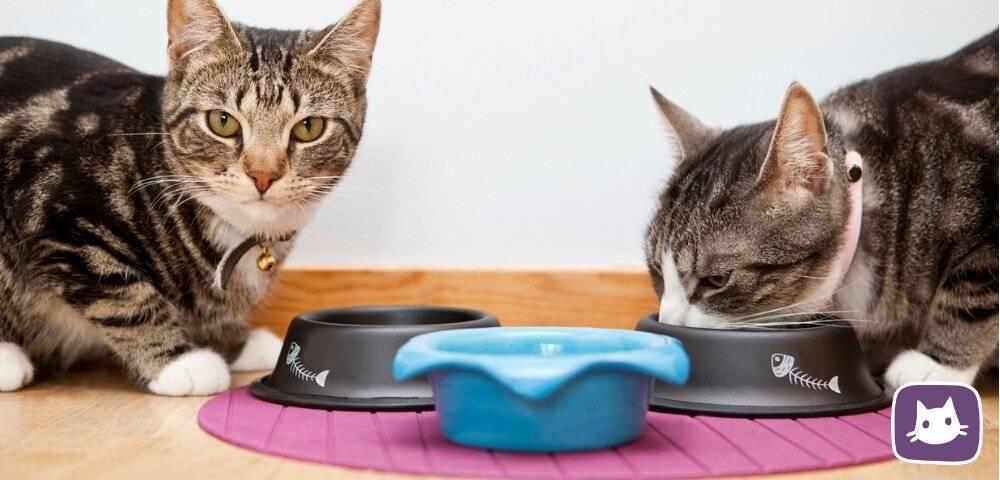 Приучаем кошку к домашней еде: доводы в пользу здорового питания