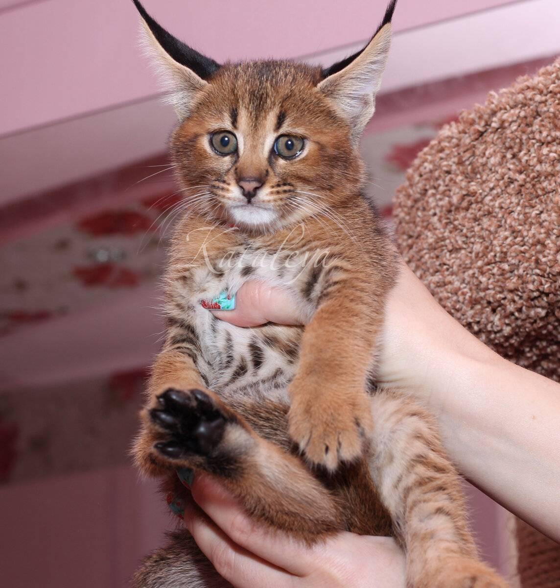 Уникальные породы кошек с фотографиями и названия: какие виды домашних любимиц самые редкие в мире?