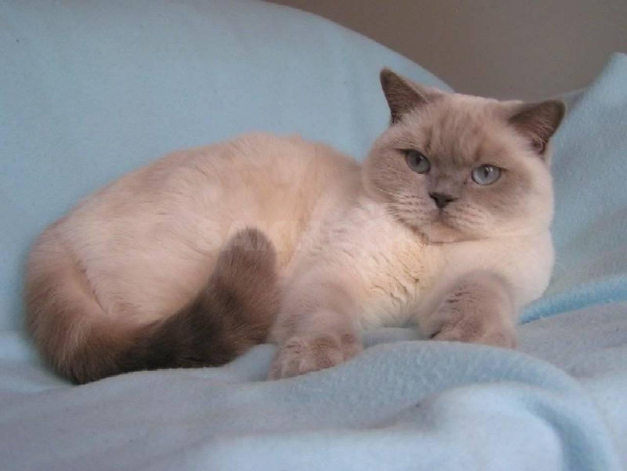 Подробное описание и особенности окраса кошек блю поинт