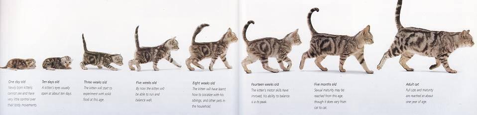Как определить возраст кошки (+ таблица сравнения возраста кошки и человека)