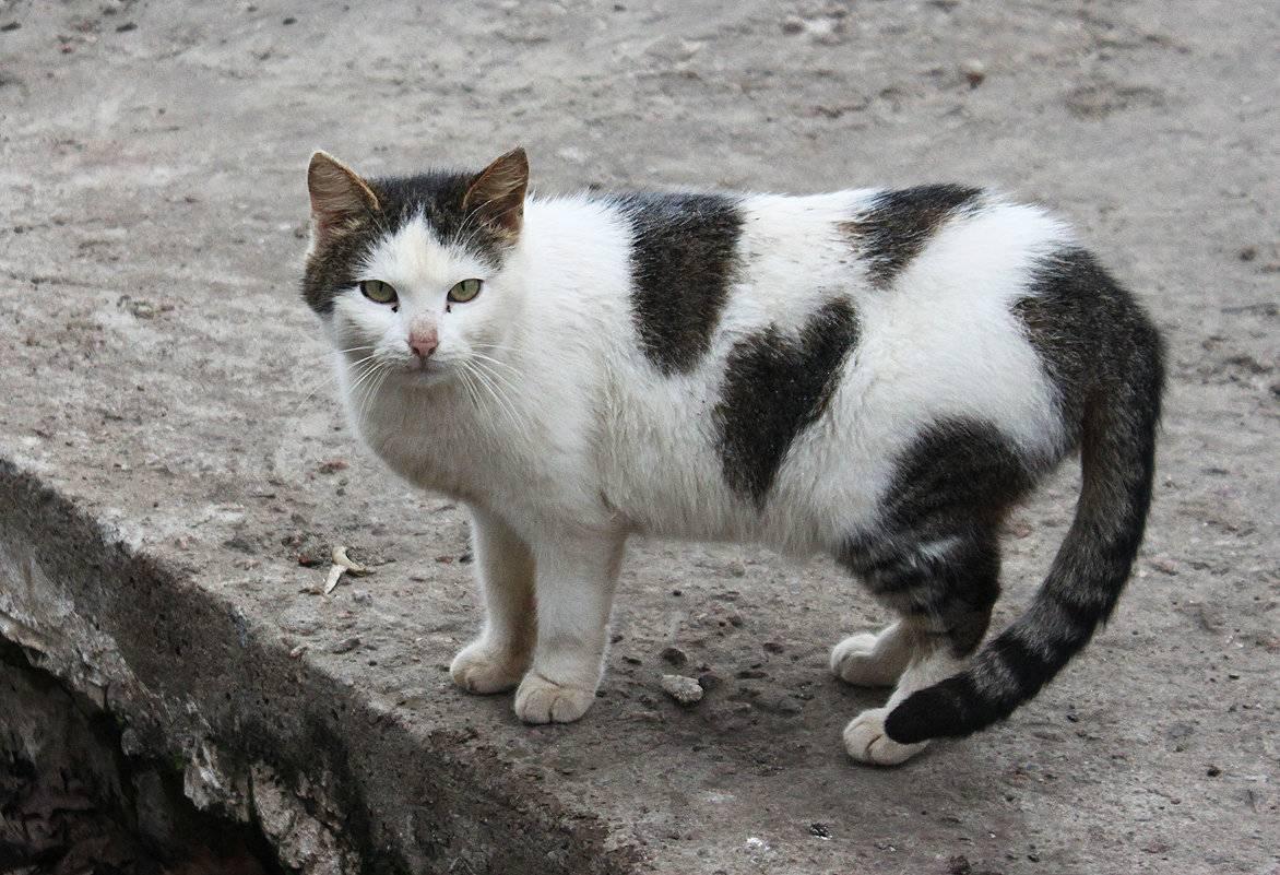 Кто здоровее: породистые кошки или дворовые?