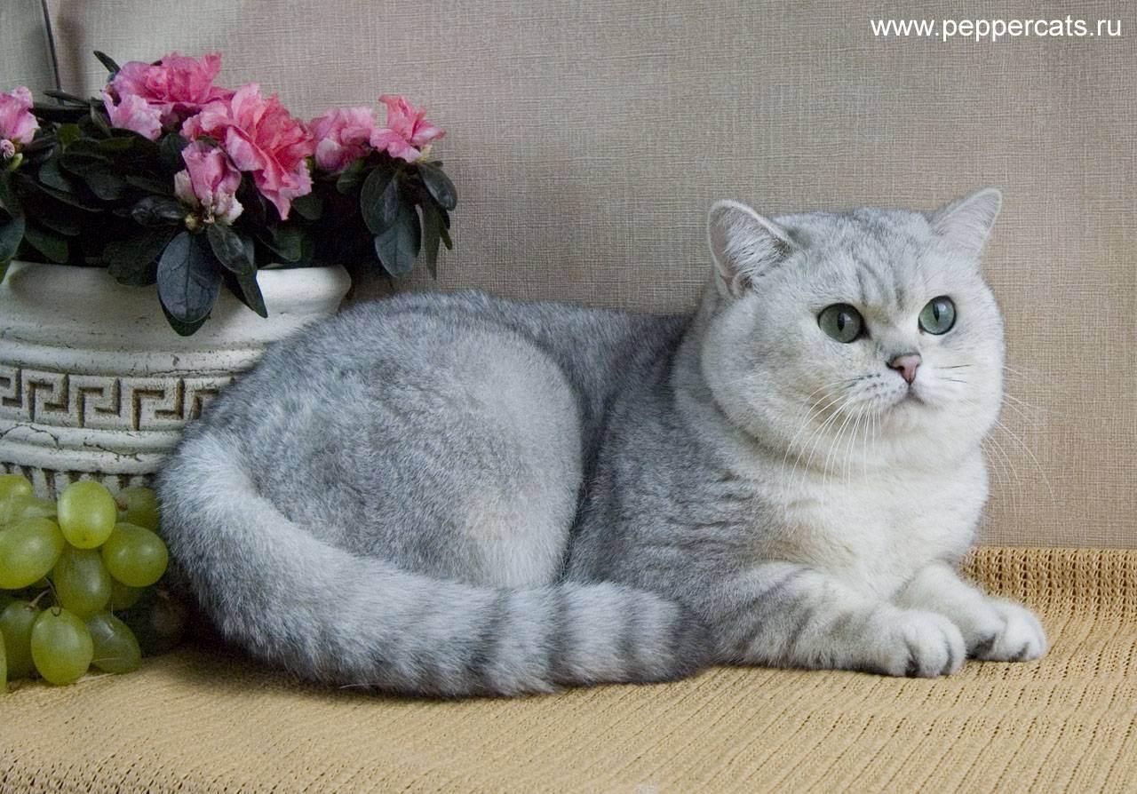 Питомники британских короткошерстных кошек