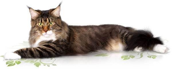 Выставки кошек. выставочные системы. европейская и американская системы.