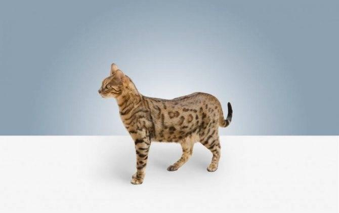 Чем опасны кошки и какие из них самые агрессивные?