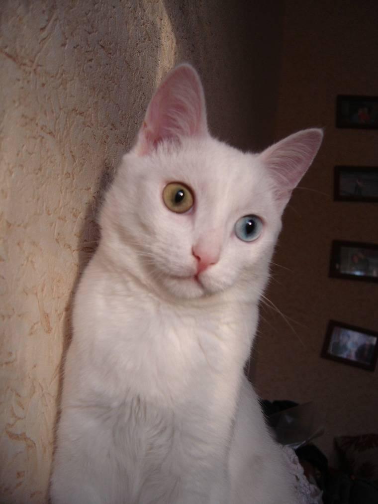 Белые кошки с голубыми глазами (29 фото): глухие они или нет? породы котов с пушистой шерстью, красивые короткошерстные котята белого цвета