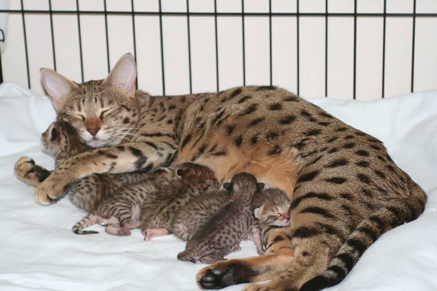 Кошка саванна - гибрид сервала: особенности породы, фото котёнка и взрослого кота, уход за питомцем и его содержание